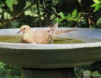 Doves delight. A mourning dove taking a bath in maryville Tennessee Stock Photography