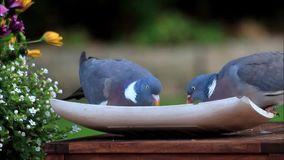 Doves eating bird seed. Closeup doves eating bird seed stock video footage
