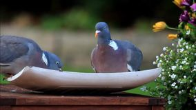 Doves eating bird seed. In the garden stock video footage