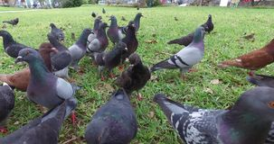 Doves eating in the park stock footage