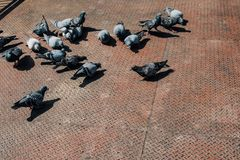 Doves eating pills. Pigeons is a peace. Doves on the wooden floo. R next to the canal Royalty Free Stock Image