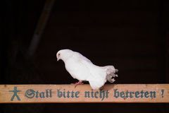 Doves on a farm Royalty Free Stock Photo