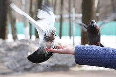 Doves feeding in hand Stock Images