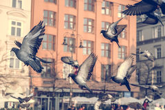 Doves in the flight over urban area Stock Photo