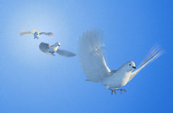 Doves Flying. Three doves flying - 3D render with digital painting royalty free illustration