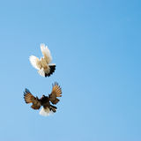 Doves flying in sky Royalty Free Stock Image