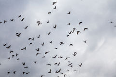 Doves flying in the sky Royalty Free Stock Photography