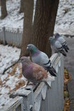 Doves Stock Image