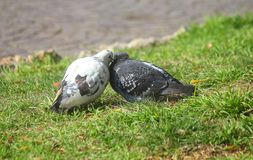 Doves on the grass. Doves in love on the grass Stock Image