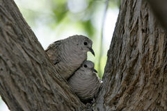 Doves huddled in a tree Royalty Free Stock Images