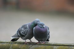 Doves in Love. Couple of birds in love stock image