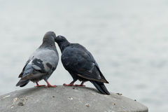 Doves in love. Two doves or pigeons sitting on concrete and look as if they are in love Royalty Free Stock Photo