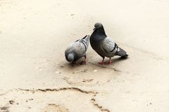 Doves in Love. The courtship dance dove in front of a female royalty free stock photography