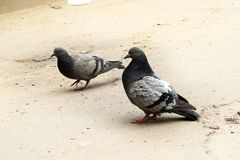 Doves in Love. The courtship dance dove in front of a female stock images