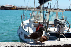 Doves in love at the sea shore. On the background of yachts royalty free stock photography