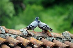 Doves in Love. Two love birds against and green background stock photo