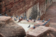 The doves of Meherangarh Fort in Jodhpur Royalty Free Stock Photo