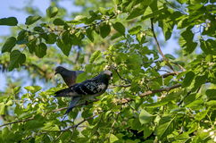 Doves in mulberry tree. In Doctors' Garden Sofia, Bulgaria stock photos