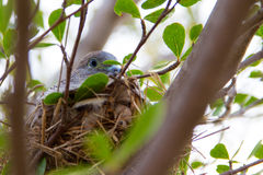 Doves in the nest Royalty Free Stock Photography