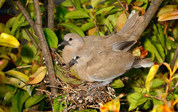 Doves Nesting Stock Photography
