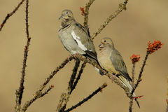 Doves on Ocotillo Branch. White Winged beside Mourning Dove on Ocotillo Branch Stock Image