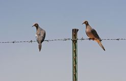 Free Doves On Barbed Wire Royalty Free Stock Image - 804326