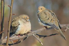 Doves Stock Images