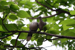 Doves in the Park. Two doves sitting on a branch in the city Park Stock Image