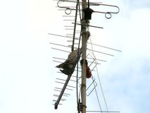 Doves perching on tv antenna. Two doves perching on tv antenna stock footage