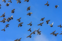 Doves and pigeons in flight Royalty Free Stock Images