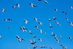 Doves (pigeons) flying in  a blue sky. Stock Image