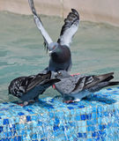 Doves at the pool side Stock Photography