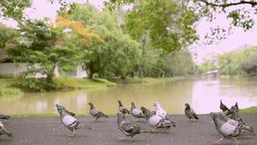 Doves in public park near natural pond. stock video