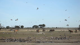 Doves and red hartebeest stock footage