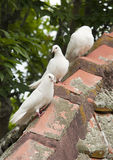 Doves on roof top Stock Photo