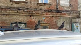 Doves sitting on the roof of a car stock photography