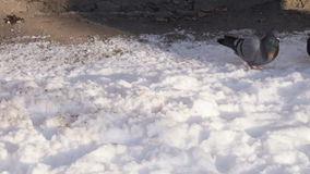 Doves on snow. Big white seagull fed crumbs stern ferry stock video