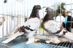 Doves on a sunny day in cage. Couple doves on a sunny day in a cage Stock Photography