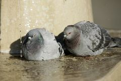 Doves taking a bath Royalty Free Stock Photos