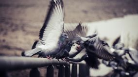 Doves taking off and flying away from on a railing in the riverbed of the river Rhine in Bonn royalty free stock photo