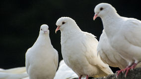 Doves Stock Photo