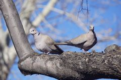 Doves in the tree. Stock Images