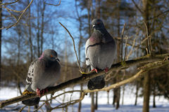 Doves. Two blue-gray pigeon on a branch in the forest Stock Image