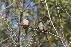 Doves. Two doves hanging out in a tree royalty free stock photos