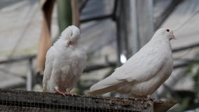 Doves. Two white dove in the park stock footage