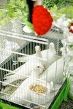 Doves waiting for Wedding Ceromony Stock Photography