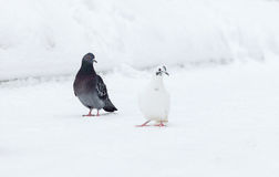 Doves on white background Royalty Free Stock Photo