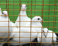 Doves Stock Photos