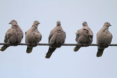 Doves On A Wire Stock Photography