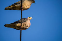Doves on the wire on blue sky Royalty Free Stock Photography